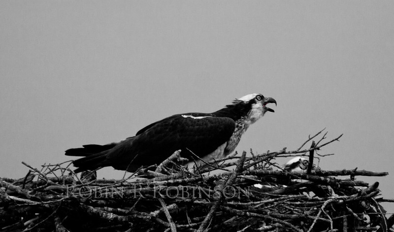 female Osprey with chick, female is calling to her mage who is coming with fish - Osprey, also called Fish Hawks, Pandion haliaethus is a migratory bird of prey in Maine. This large raptor hunts only live fish. It hovers in the air over water to see fish then plunges feet first to capture fish.