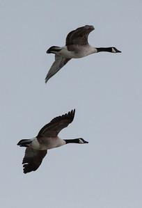 Canada Geese in flight, Phippsburg Maine