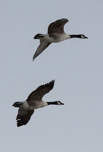 Canada Geese in flight, Phippsburg Maine