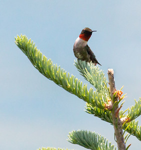 Male Ruby-throated hummingbird perched with red gorget displayed, Totman Cove, Phippsburg Maine June