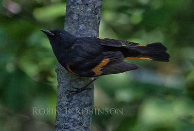 American Redstart, male, early June, Phippsburg, Maine. Redstarts are migratory in Maine. They are members of the family of Wood-warblers.