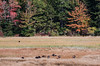 Flock of Eastern Wild Turkey (Meleagris gallopavo silvestris)   feeding on salt marsh, October, Phippsburg Maine. Wild turkeys were nearly exterpated from Maine. They were re introduced in Maine in 1977. Since then, their population has flourished.  I see them frequently here on coastal Maine.