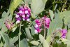 Beach peas, Lathyrus japonicus is a perennial member of the legume family found on sandy beaches and dunes in Maine. Beach pea has showy purple or pink flowers and smooth, stalk-less seed pods that contain small peas. The peas are eaten by animals, such as deer, mice, and birds, but they are not safe for human consumption because they contain a paralyzing agent. The flowers are an attractive food sources for bees and butterflies. The beach pea's extensive native range is due to the ability of the seeds to remain viable in seawater up to 5 years. The plant can germinate when the tough seed shell is broken open by abrasion with the sand. Once established, the roots of the beach pea help bind soils of beaches and dunes. This was photographed at Popham near Fort Popham, Phippsburg, Maine