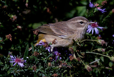 fall Palm warbler, Phippsburg Maine, on asters