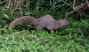 Mongoose were introduced to Hawaii in 1883 with the idea that they would controll the rats, also introduced. They have nearly wiped out the ground nesting birds.