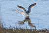 Greater Yellowlegs during fall migration, Phippsburg Maine