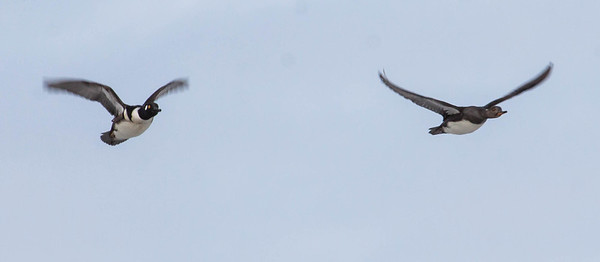 Common Goldeneye ducks in flight