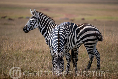Zebras portrait