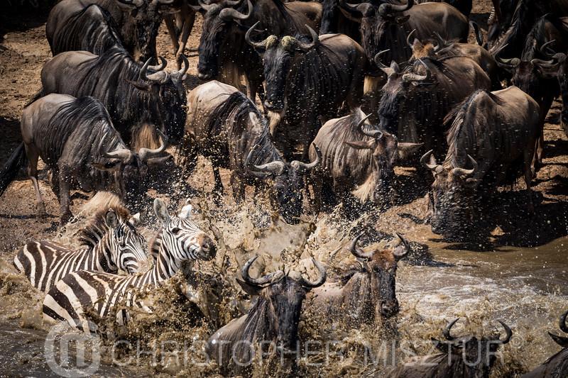Wildebeest and Zebras portrait