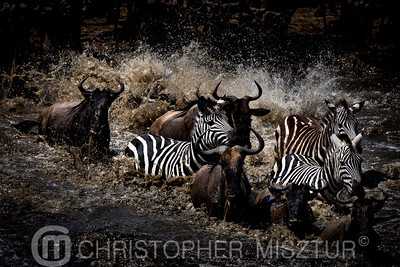 Zebras and wildebeest portrait