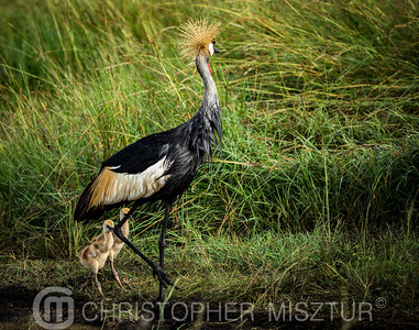 Crowned Crane family portrait