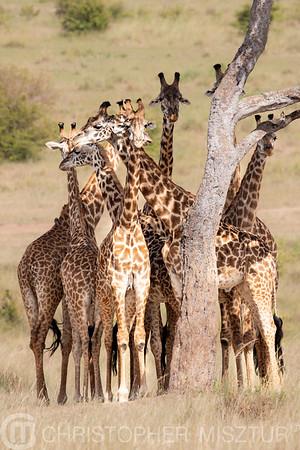 Giraffes portrait
