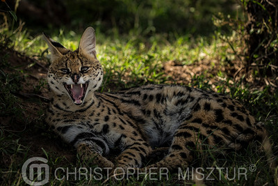 Serval cat portrait