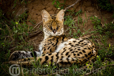 Serval cat portrait