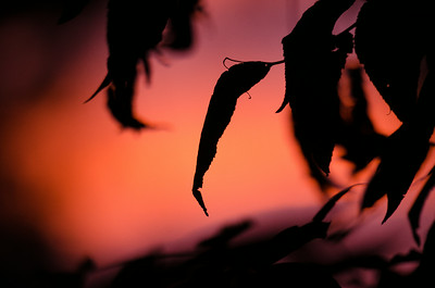 Leaf silhouette at sunset