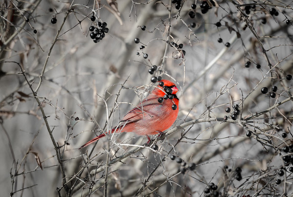 Cardinal and berries