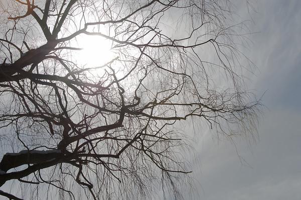 sunburst through winter willow