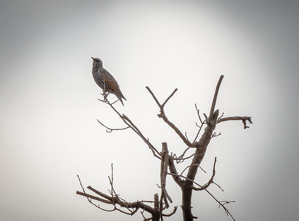 Starling in dead tree