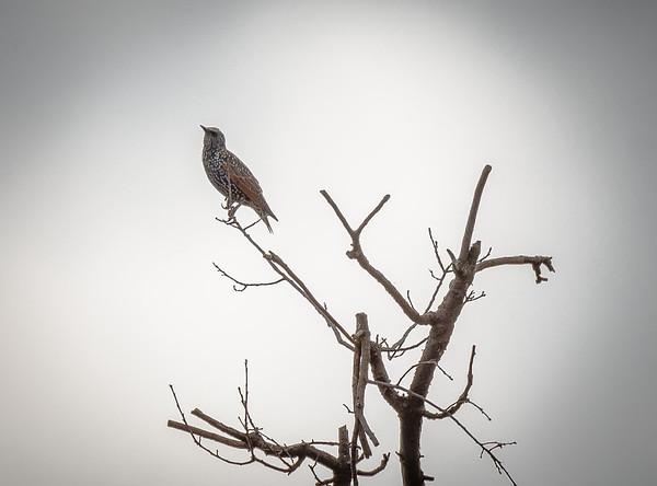 Starling in dead tree