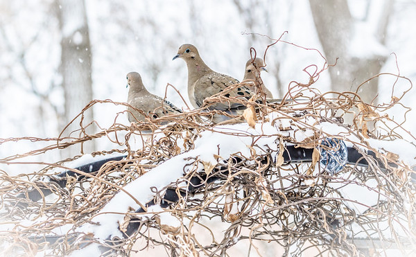 Mourning Doves on a snowy arbor