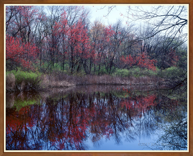 Maple Trees In Flower And Riverbank I