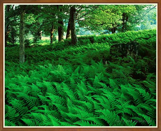 Meadow Of Ferns