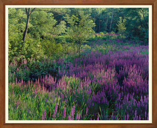 Loosestrife's Private Meadow