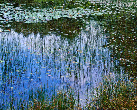 Lily Pond With Reeds II