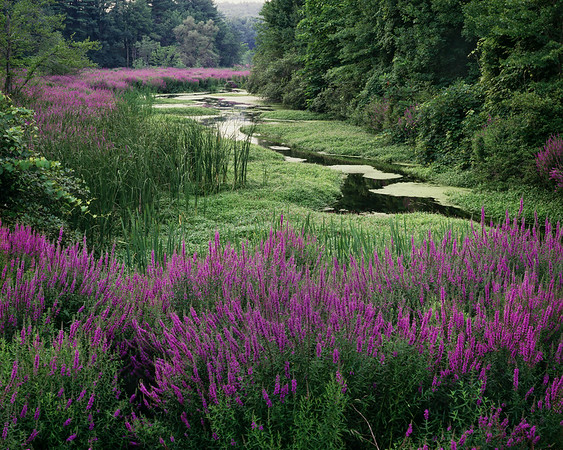 Meandering Stream & Loosestrife