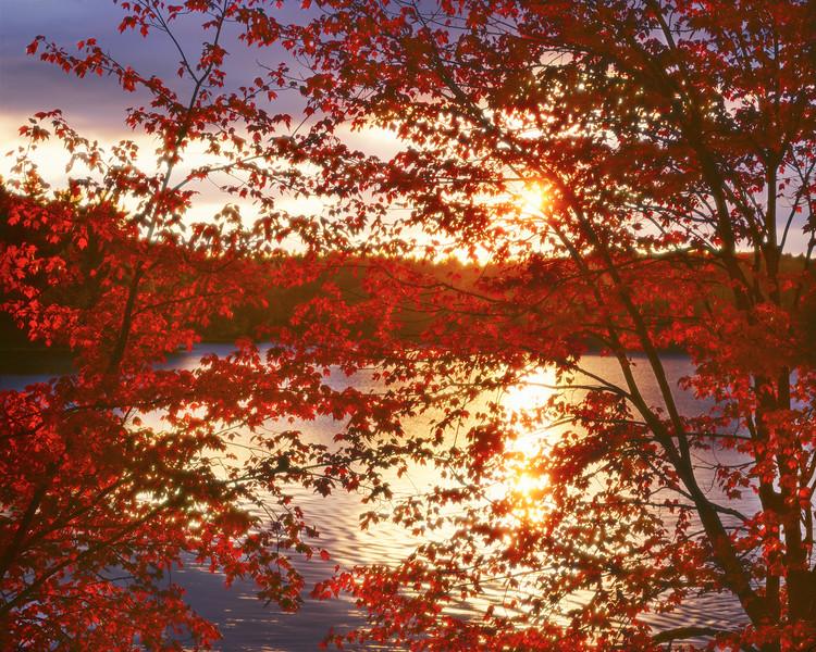 Sunset Through Red Leaves, Walden Pond I