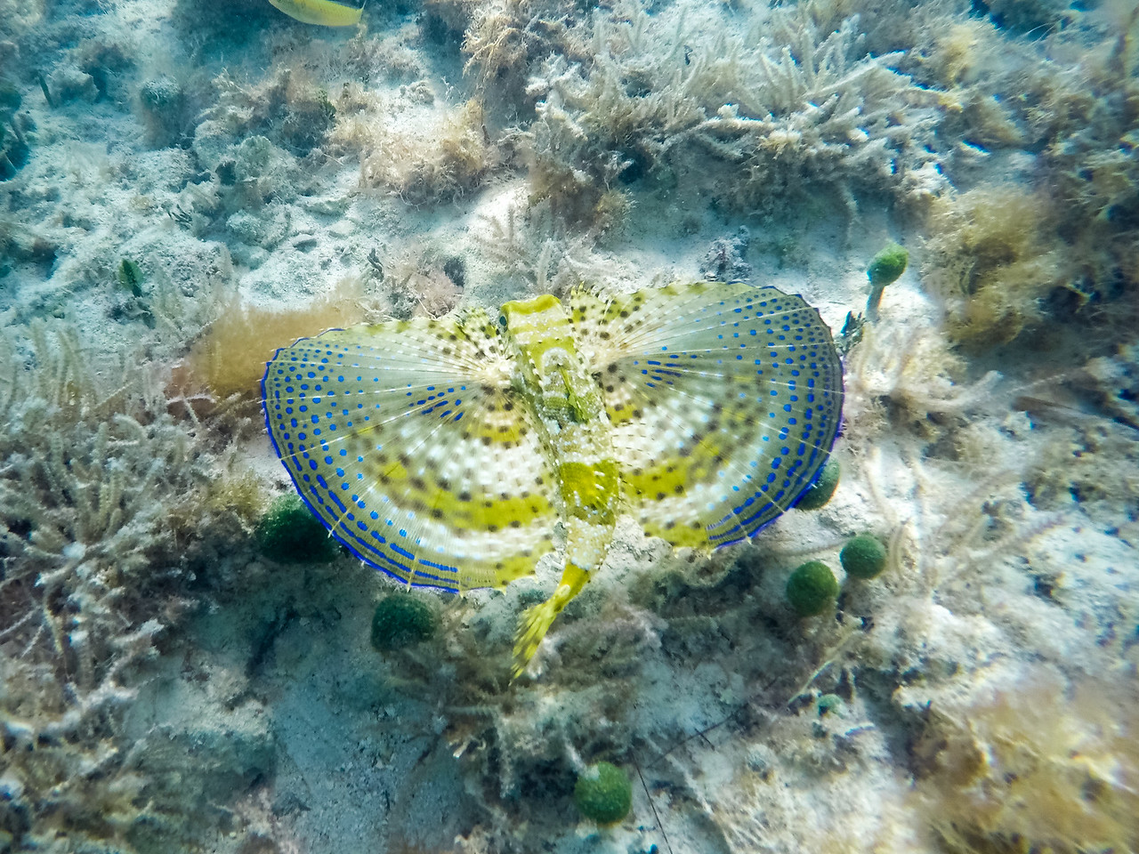 Taylor's Flying Gurnard