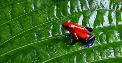 Blue Jeans Frog in family of Strawberry Poison Dart Frog