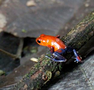 Frog 16 --- Blue Jeans Frog