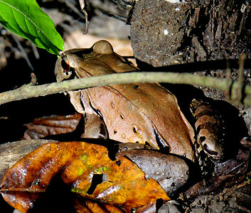 Bullfrog or Cane Toad