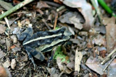 Forrer's Grass Frog