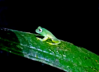 Glass Frog Centrolene on the Night Hike