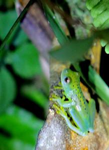Emerald Glass Frog
