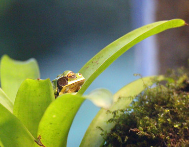 Masked Frog in Frog Exhibit