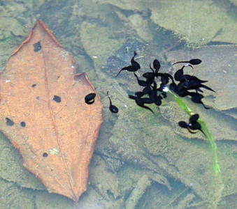 """Tadpoles in the """"Frog Pond"""""""