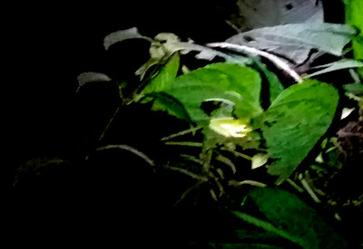 Frog Seen on the Night Hike