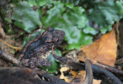 Unknown - Probably one of the Forest Toads or Rain Frogs