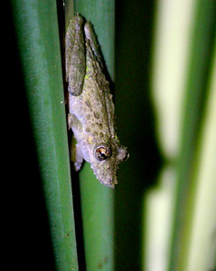 Frog 14   (you said something about alligator nose)