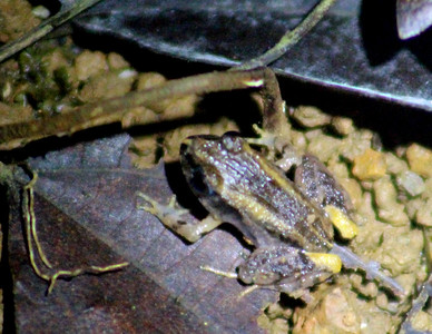 Frog 13  ---  May Be one of Leaf-litter frogs?