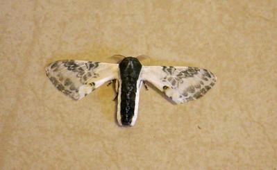Unknown Moth #4