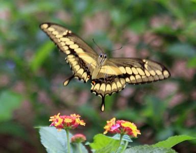 Giant Swallowtail - bottom