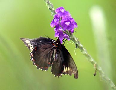 Polydamas Swallowtail