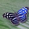 Whitened Bluewing