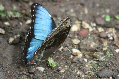 Blue Morpho Butterfly - showing both sides