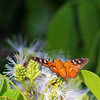Common Mytip Butterfly