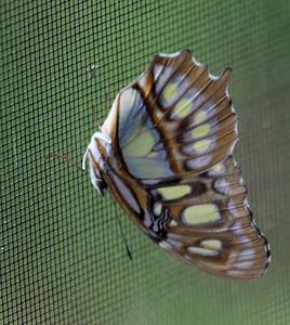 Malachite - bottom or folded wings side